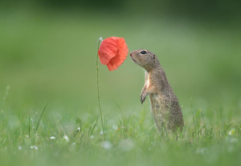 """Geur van de Lente - Grondeekhoorntje die even """"ruikt"""" aan de klaproos. De foto is vanuit de hand genomen, vanuit een liggende positie."""