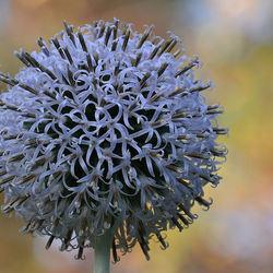Allium Caeruleum.