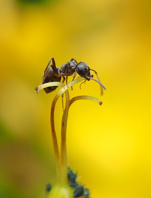 Wegmier  - Wegmier (Lasius niger) boven op een stamper van een Hertshooi