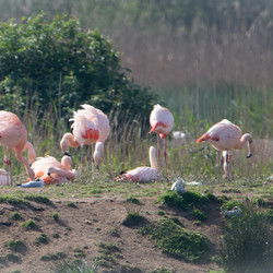Flamingo familie