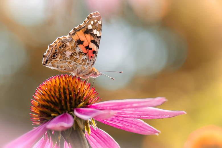 Botanische tuin - distelvlinder - Foto gemaakt in de botanische tuin in Oslo. Een prachtige tuin met heel veel vlinders. Echt genieten.