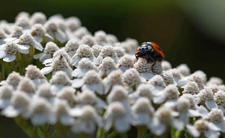 seriemoordenaar - Veel insecten bezoeken bloemen voor nectar of stuifmeel. Het zevenstippelig lieveheersbeestje jaagt op bladluizen en insect-larven.<