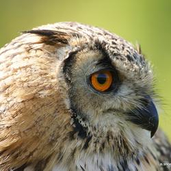 Siberische Oehoe