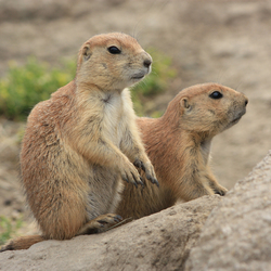 Prairie hondjes