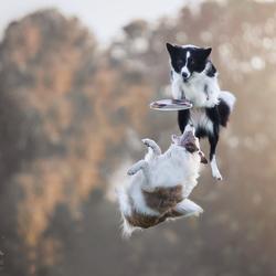 Twee honden frisbeeb
