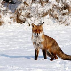 Fox Fantasy
