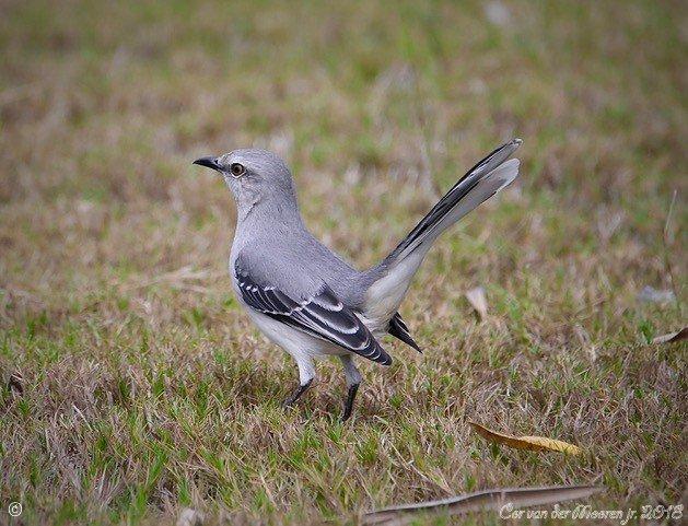 Spotlijster is de nacht zanger van zuid Amerika - Deze Spotlijster is een zangvogel ook bij volle maan en imiteert andere vogel geluiden na die hij te