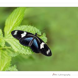Sara Van Heliconius Vlinder