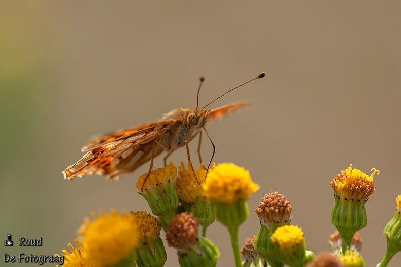 Kleine parelmoervlinder - Gisteren scherp op de vleugel, deze scherp op het koppie.