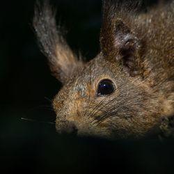 etende eekhoorn