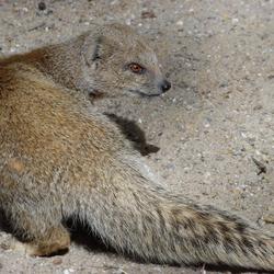 Vosmangoest, Ouwehands dierenpark