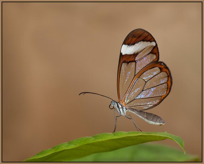 Glasvleugelvlinder - Door het mindere weer buiten, ben ik naar Dierenpark Emmen gegaan en heb me daar heerlijk vermaakt in de vlindertuin.<br /> Dit
