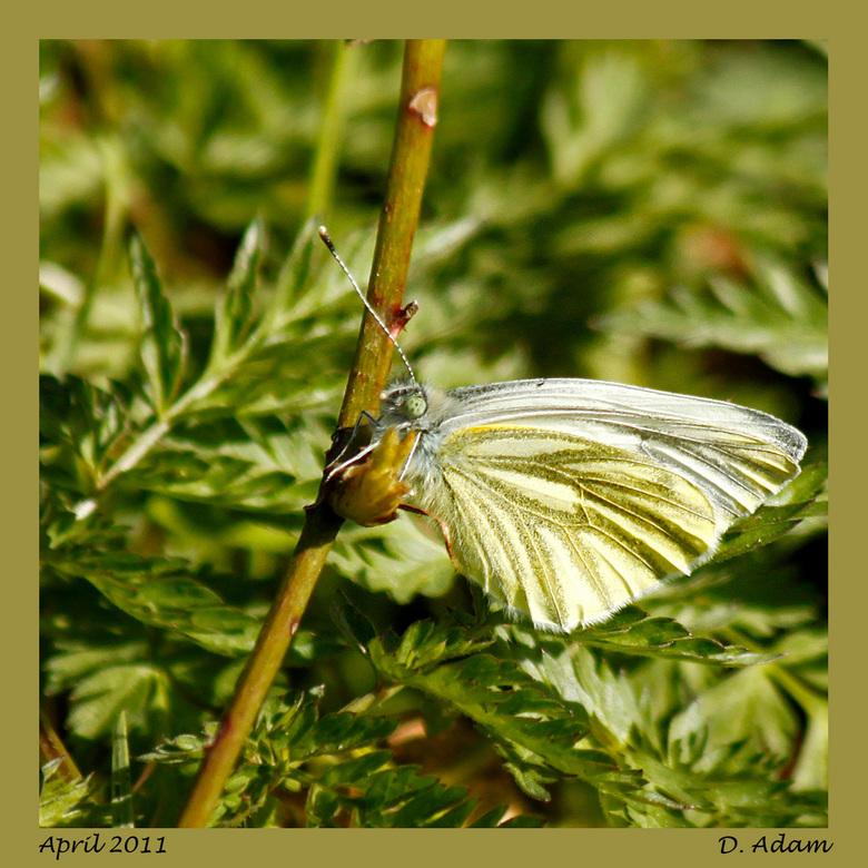 En de 1e vlinder 2011 in Engbertsdijksvenen - Vanochtend heerlijk gewandeld met schoonvader in de Engbertsdijksvenen. Veel gezien, waaronder diverse v