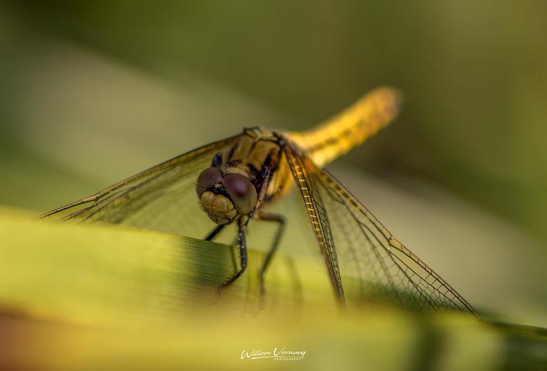 Libelle in de tuin. -