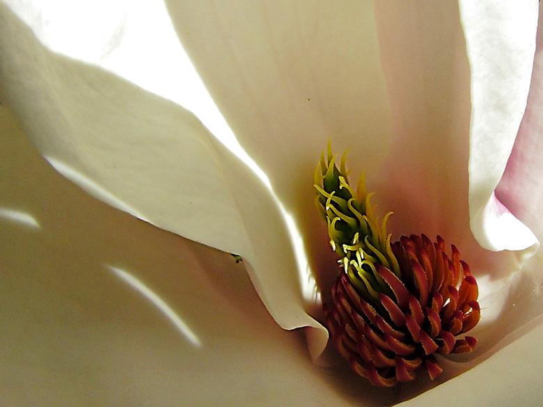 Magnolia - De binnenzijde van een magnolia.<br /> <br /> Ook dat is een prachtig gezicht.<br /> <br /> Fijne dag verder.<br /> Gr. Joop