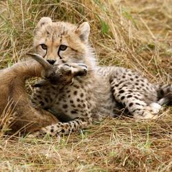 Jonge cheetah met prooi