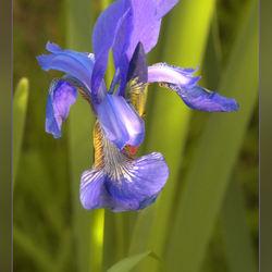 Blauwe lis