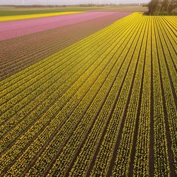 Tulpenveld Noordoostpolder, Flevoland