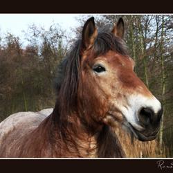 Een echt boerenpaard.