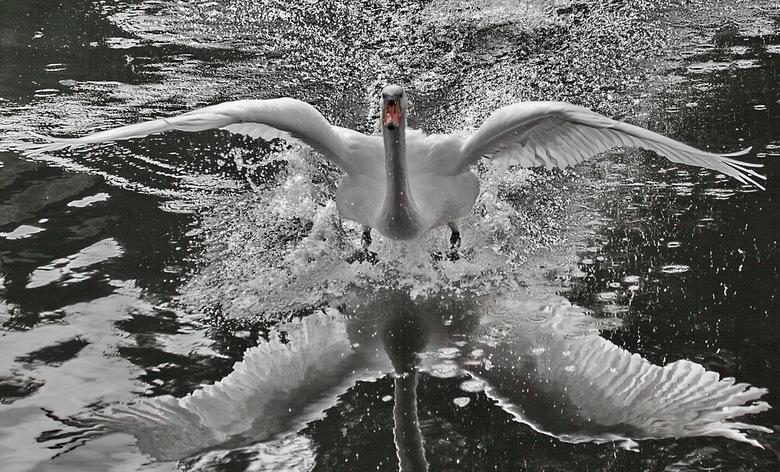 kunnen zwanen vliegen