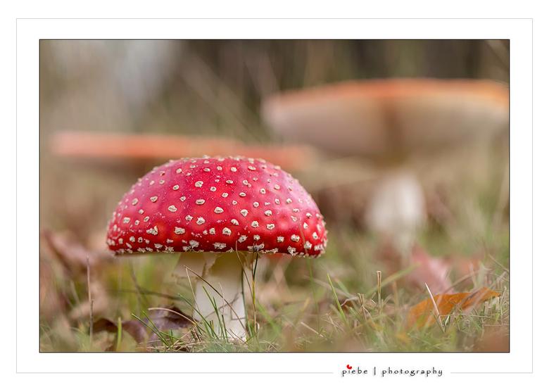 """Rood met witte stippen... - Hier een """"echte rood met witte stippen paddenstoel""""... Er zijn er veel momenteel in Joure... Ook in de achtergro"""