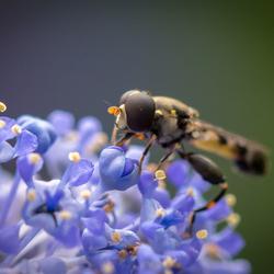 Zweefvlieg in achtertuin