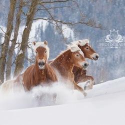 paarden actie in de sneeuw