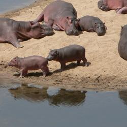 Nijlpaardfamilie