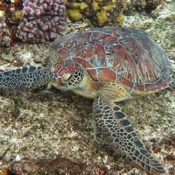 Carat schildpad marsa alam egypte