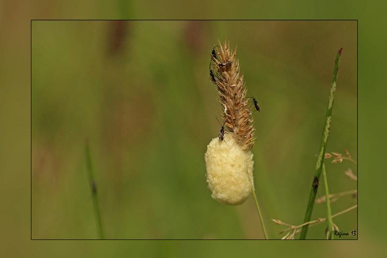 sluipwespjes - sluipwespjes uit een bolletje wol, gefotografeerd in Hooghalen toen we een dag je Roel Lemstra op visite waren. Een super leuk en gezel