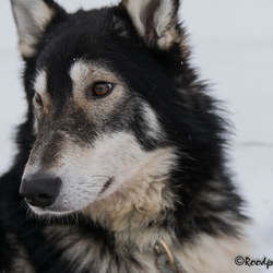 Slede hond 1-1302.jpg