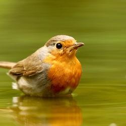 Robin lief !