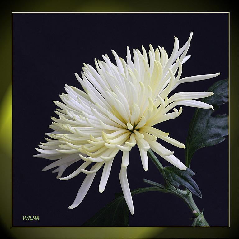 Witte chrysant - De laatste van de chrysant de eerste was mooi de tweede minder de derde.....<br /> <br /> Ik hoor jullie mening wel.....<br /> Ied