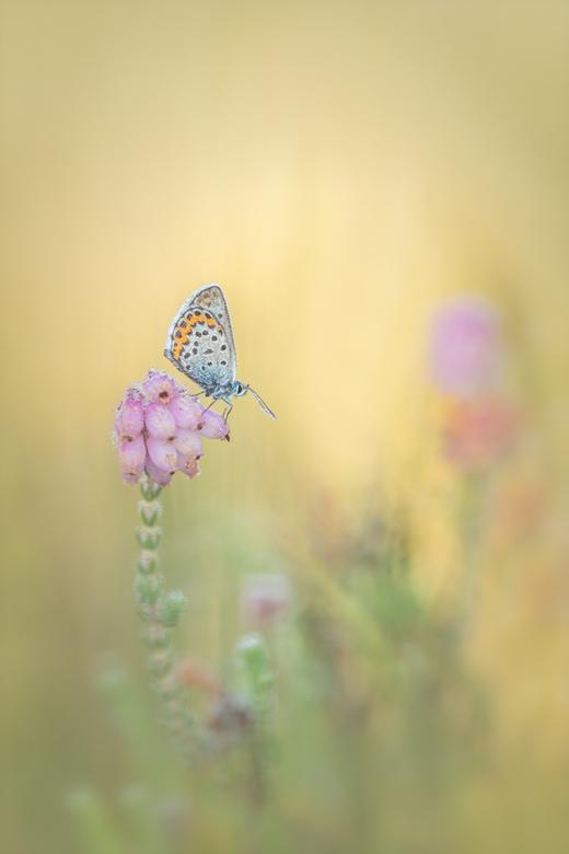 Heideblauwtje - Vlindertje in de vroege ochtend.