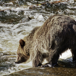 Vissende grizzly