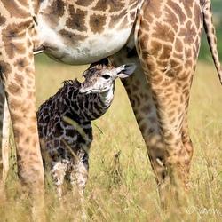 Pas geboren giraffe