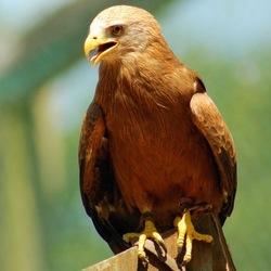 Roofvogel op uitkijk