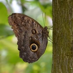 Vlinder oog met camouflage kleur.jpg