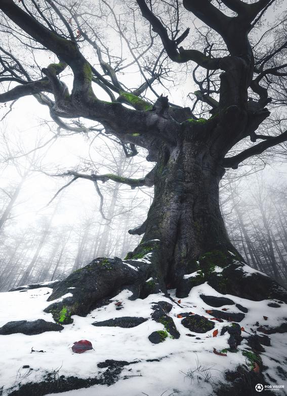 Witch of winter - De heksenboom in Bladel in de sneeuw.