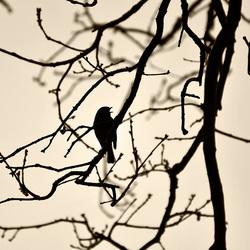 Robin in silhouet