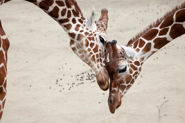 true love - Hier zit een leuk verhaal achter. We liepen langs de giraffen en ik, gertrude, vond het maar 'saaie'  onderwerpen. Toch bleven w