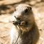 Jonge Prairiehond