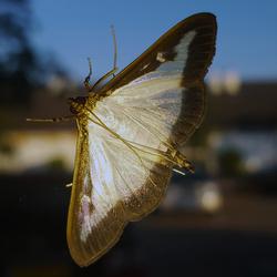 Nachtvlinder op het raam