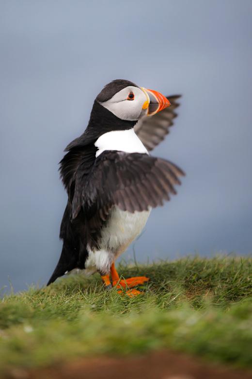 Puffin Scotland - Papegaaiduiker op het Schotse eiland Lunga.
