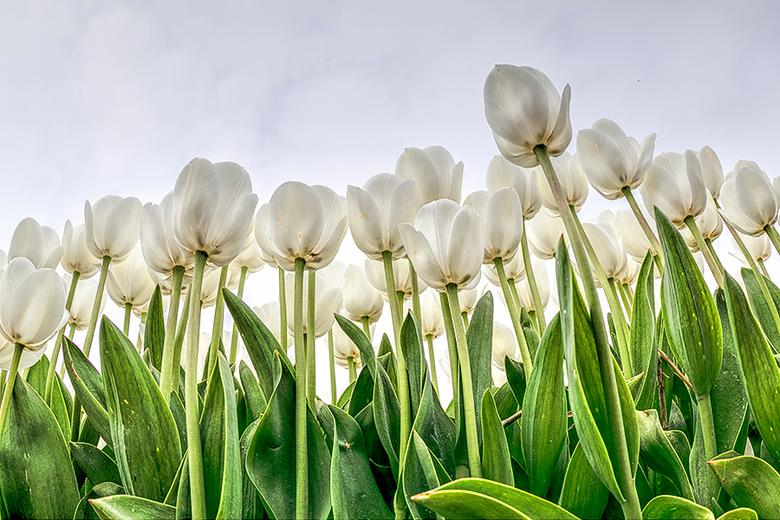 Tulpen uit de Noord Oost Polder - Na een zwart wit versie van de tulpen uit de Noord Oost Polder, nu iets meer kleur....<br /> <br /> Groet <a href=