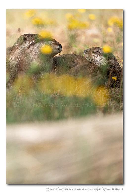 Otters In Buttercups - Niet in het wild, maar in de dierentuin. Het is dan altijd de uitdaging om het beeld eruit te laten zien alsof het in de natuur