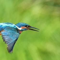 IJsvogel (vliegend)