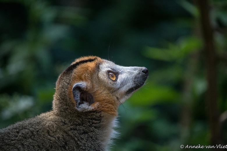Apenheul Kroonmaki (Eulemur coronatus) -