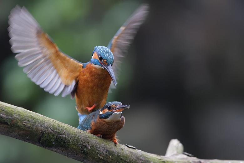 Parende IJsvogels - Parende IJsvogels.<br /> <br /> Helaas heb ik deze foto moeten maken op ISO 800 met alle ruisontwikkeling van dien, dit was nodi