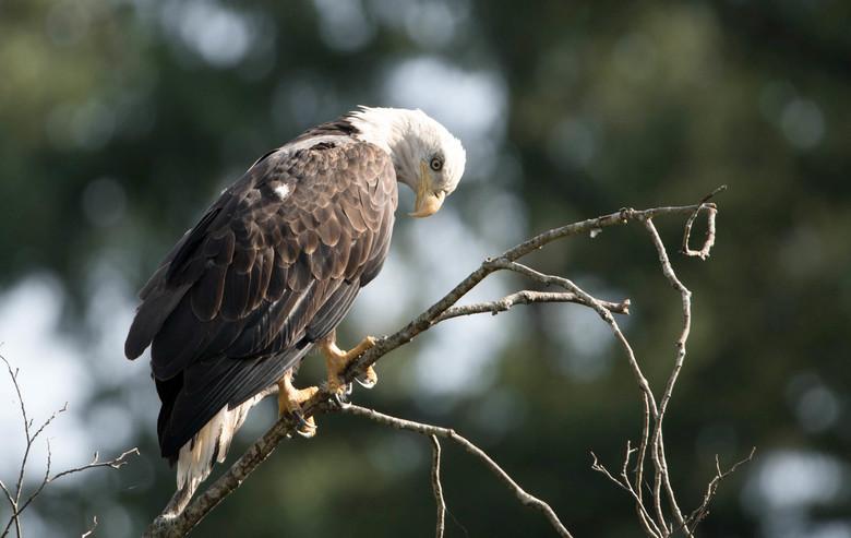 Bald eagle iets dichterbij -